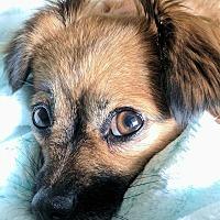 Adopt A Pet :: Callie - Richmond, KY
