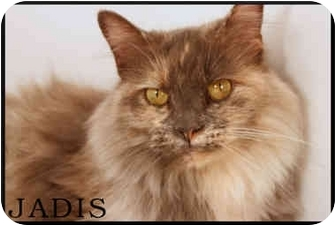 Maine Coon Cat for adoption in Pittstown, New Jersey - Jadis