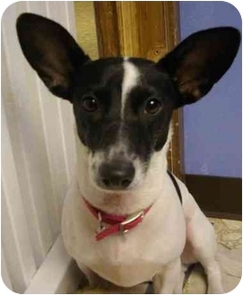 Rat Terrier Mix Dog for adoption in Deer Park, Texas - Oliver