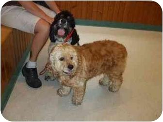 Cocker Spaniel Mix Dog for adoption in Mentor, Ohio - Brad 2yr Adopted