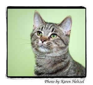 Domestic Shorthair Cat for adoption in Warren, Pennsylvania - Clarence