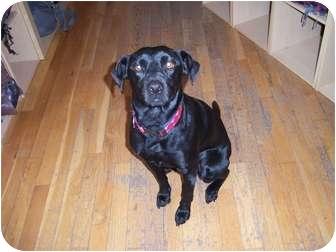Labrador Retriever/Terrier (Unknown Type, Small) Mix Dog for adoption in Naugatuck, Connecticut - Dutchess