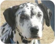 Dalmatian Dog for adoption in Turlock, California - Ko Ko