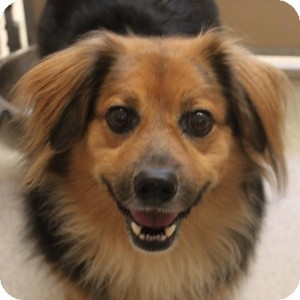 Sheltie, Shetland Sheepdog/Shepherd (Unknown Type) Mix Dog for adoption in Naperville, Illinois - Reese 2