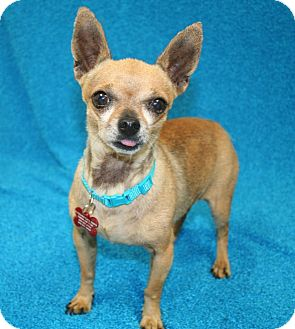 Chihuahua Mix Dog for adoption in Westminster, Colorado - Buckingham
