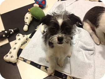 Shih Tzu/Terrier (Unknown Type, Small) Mix Puppy for adoption in Burbank, California - Zoey