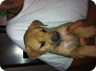 Shepherd (Unknown Type) Mix Puppy for adoption in Nuevo, California - Honey
