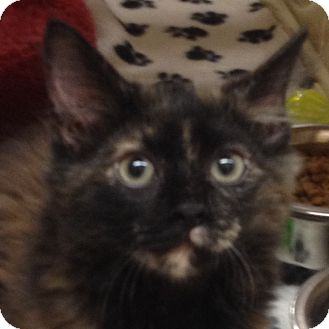 Domestic Longhair Kitten for adoption in Weatherford, Texas - Princess