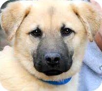 Shepherd (Unknown Type) Mix Puppy for adoption in Wakefield, Rhode Island - POTTER(CALM--GENTLE!!)