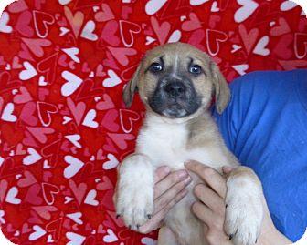 German Shepherd Dog Mix Puppy for adoption in Oviedo, Florida - Dutch