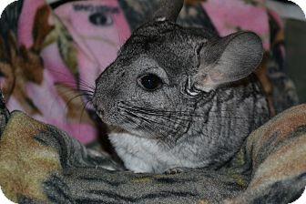 Chinchilla for adoption in Lindenhurst, New York - Lilo