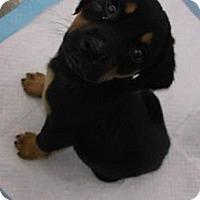 Adopt A Pet :: Shadow - Cincinnati, OH