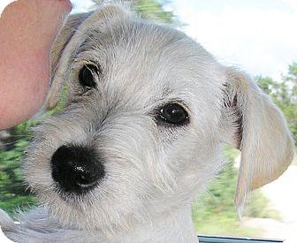 Scottie, Scottish Terrier/Westie, West Highland White Terrier Mix Puppy for adoption in Austin, Texas - Prince