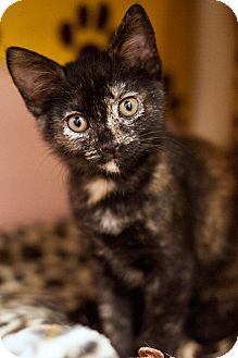 Domestic Shorthair Kitten for adoption in Carencro, Louisiana - Lucy Belle