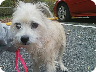 Yorkie, Yorkshire Terrier/Cairn Terrier Mix Dog for adoption in Oak Ridge, New Jersey - Dwight