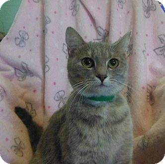 Domestic Shorthair Cat for adoption in Morristown, Tennessee - Jessica