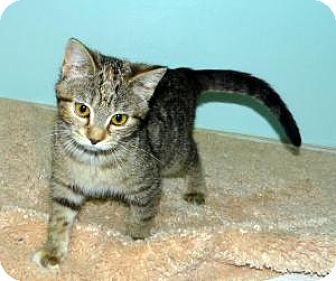 Domestic Shorthair Kitten for adoption in union, Missouri - Sophia