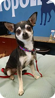 Chihuahua Dog for adoption in Bogart, Georgia - Gertie