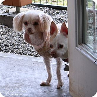 Chihuahua Mix Dog for adoption in Seattle c/o Kingston 98346/ Washington State, Washington - Camille