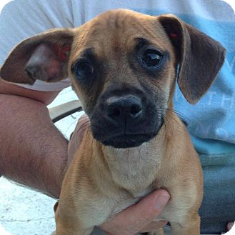 Chihuahua/Dachshund Mix Dog for adoption in Hagerstown, Maryland - Rosey