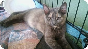 Domestic Shorthair Kitten for adoption in Olmsted Falls, Ohio - Ella