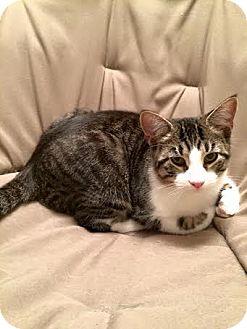 Domestic Shorthair Cat for adoption in Columbus, Ohio - Duchovny
