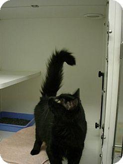 Domestic Mediumhair Cat for adoption in Olympia, Washington - 42523