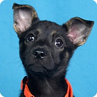 Adopt A Pet :: Mocha - Minneapolis, MN