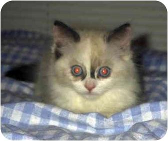 Himalayan Cat for adoption in Encino, California - GINA