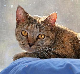 Domestic Shorthair Cat for adoption in Flint HIll, Virginia - Penny Lane