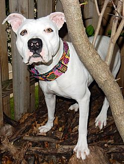 American Pit Bull Terrier/American Bulldog Mix Dog for adoption in O'Fallon, Missouri - Ninja *Great running buddy*