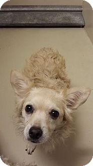 Chihuahua/Spaniel (Unknown Type) Mix Dog for adoption in Westminster, California - Maya