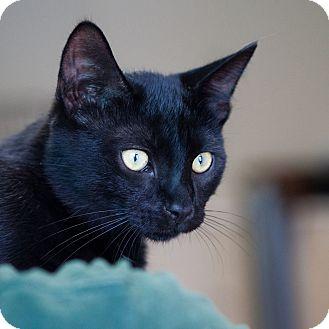 American Shorthair Kitten for adoption in Avon, New York - Coal