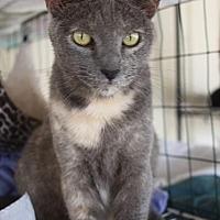 Domestic Shorthair Cat for adoption in New Bern, North Carolina - Alopecia
