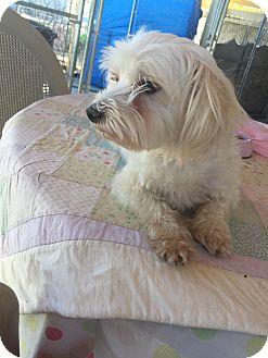 Maltese Dog for adoption in Corona, California - Fonzie, Gorgeous Maltese Mix