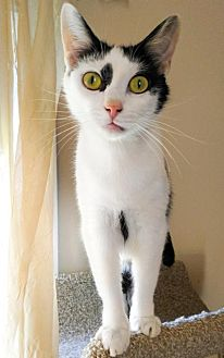 Domestic Shorthair Cat for adoption in Johnson City, Tennessee - Fenriz