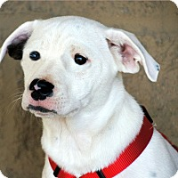 Jack Russell Terrier Mix Puppy for adoption in Marion, North Carolina - Prince