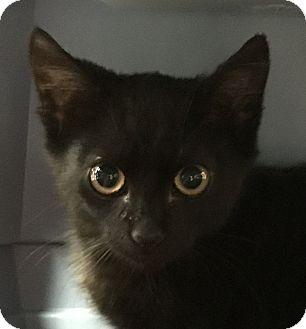 Domestic Shorthair Kitten for adoption in Schertz, Texas - Inky LS
