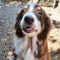 Australian Shepherd Dog for adoption in Sarasota, Florida - Fanny