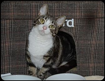 Domestic Shorthair Cat for adoption in Brick, New Jersey - Sassy