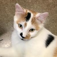 Domestic Shorthair/Domestic Shorthair Mix Cat for adoption in Rochester, Minnesota - Willa