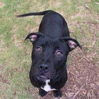 American Pit Bull Terrier Mix Dog for adoption in Anderson, South Carolina - Quinton