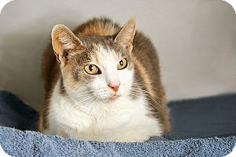 Calico Cat for adoption in Coronado, California - Chelsea