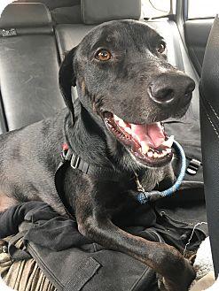 Labrador Retriever/Pointer Mix Dog for adoption in Olympia, Washington - Parker