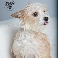 Adopt A Pet :: Suzy Q - Inglewood, CA