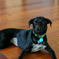 Adopt A Pet :: Abby - Springfield, MO