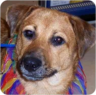 Labrador Retriever/Shepherd (Unknown Type) Mix Dog for adoption in Olive Branch, Mississippi - Skye