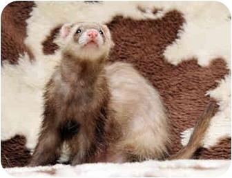 Ferret for adoption in Durham, North Carolina - Piper