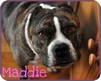 English Bulldog/American Staffordshire Terrier Mix Dog for adoption in Trucksville, Pennsylvania - Maddie*
