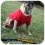 Photo 3 - Pug Dog for adoption in Mays Landing, New Jersey - Mr. Puppy-VA